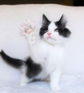 Ragdoll cross kittens for their new homes.