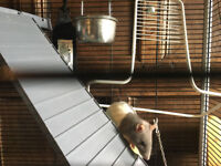 Free to a good home - two lovely lady rats and cage etc, about 5 months old.