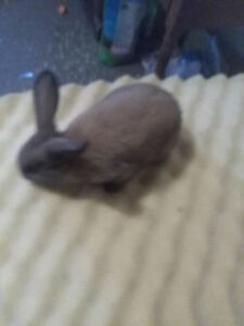 7  BABY  BUNNIES  LEFT  $ 10.00  EACH THEY  MUST  GO  7  WEEKS O
