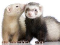 2 12 week old ferrets