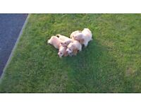 Purebred golden cocker spaniel puppies