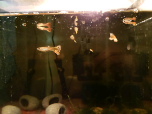 Assorted guppies for sale $1 each
