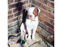 Rehoming american bulldog