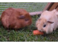 baby girl and boy long hair Guinea pigs for sale
