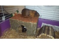 Two guinea pigs for sale just today and tomorrow
