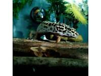 Spotted Leopard Gecko