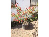 Callistemon ( bottle brush ) plant in 25 litre pot