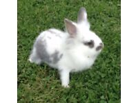 Lop eared and lion head rabbits for sale