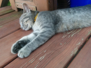 FOUND: young grey kitten cat in Hull Hospital area
