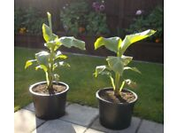 Winter Hardy Tropical Musa Basjoo Banana Plant in 20L Grow Pot - £25 - Glenrothes