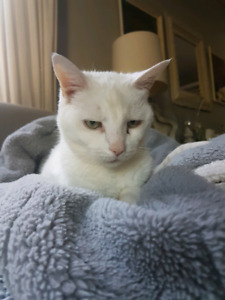 Declawed spayed female cat free