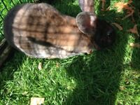 Baby Rex rabbits 5 available