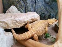 Bearded dragon with vivarium and live food