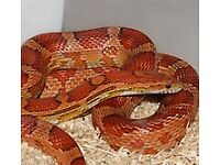 Corn snakes and full set up
