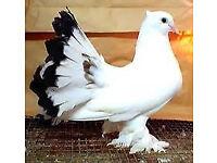 Indian fantail pigeons £50 pair