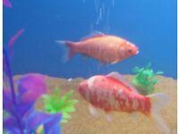 🐟8 to 10 inch Common Goldfish Big Beauties🐟 2 sold now 2 left