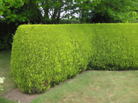 Hedge  trimming  and tree pruning