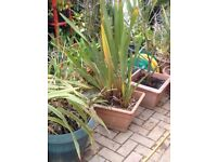 Large Phormium plant for the garden