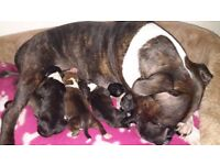 Staffordshire Bull Terrier Puppies! 🐕💕