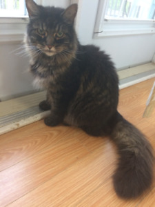 Maine Coon in need of a good home - Free
