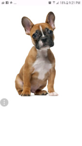 Looking for female under a year,  French Bulldog!