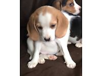 9 week old beagle puppies