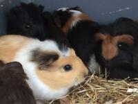 8 week old Guinea pigs for sale