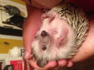 Young Hedgehogs For Sale