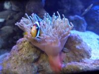 pink tipped bulb tentacle anemone. ( ALL SOLD )