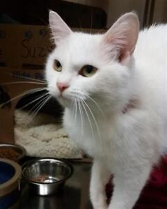"Young Female Cat - Domestic Short Hair: ""Suzy"""