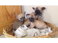Adorable Chihuahua puppy's