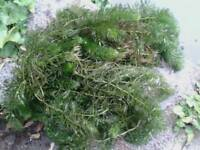 POND WEED 2 TYPES £1 LARGE CLUMP