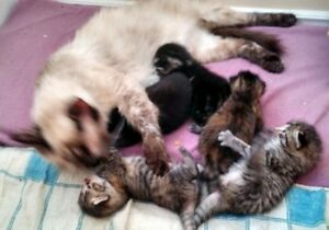 EXOTIC TABBY Kitten MOTHER SIAMESE Vet Shots Health Check 2 SOLD