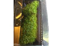 Monte Carlo carpet/foreground live aquarium plant, established, good amount