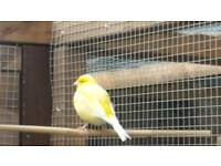 Canary pair