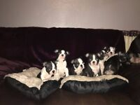 Ready now Boston Terriers