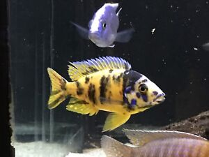 PEACOCK CICHLIDS (juvies and adults)