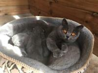 British Shorthair Kittens Cat Not Persian
