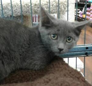 "Baby Male Cat - Domestic Short Hair: ""Jack"""