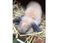 Mini lop rabbit and hutch