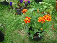 Plant for sale-A French Marigold plant in a 16 cm pot