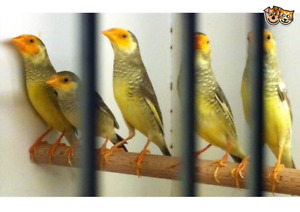 Starfinch and gouldian finch and strawberry finch  for sale