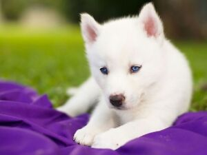 Looking for white husky puppy  or a white German shepherd