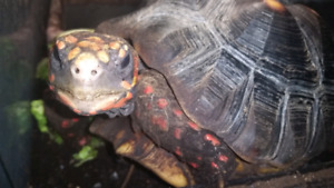 Adult female cherry head red foot tortoise