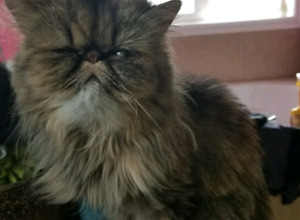Spayed 2 year old Persian