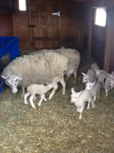 Registered Rideau arcott ram lambs tries r for breading only