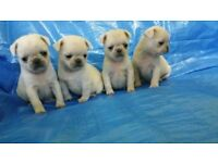 Lovely And Adorable Rare PURE Breed Pugs For Sale