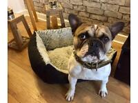French Bulldog - 2 Years Old