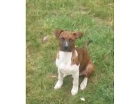 Staffy x american bulldog. 4 months old fully vaccinated upto date and chipped