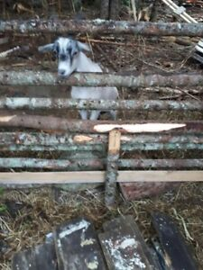 Pigme goats
